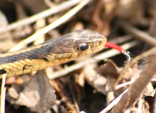 common garter snake 02