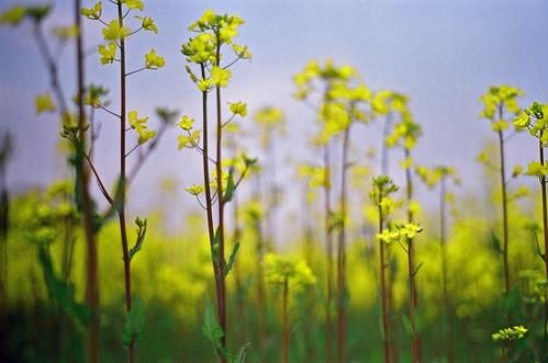 菜の花散歩 : Rape blossoms 2007