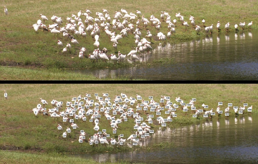 155 Ibises Plus 1 Cattle Egret