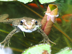 Floating around (ET Photo Home!) Tags: fish pond goldfish frogs lilypads abigfave