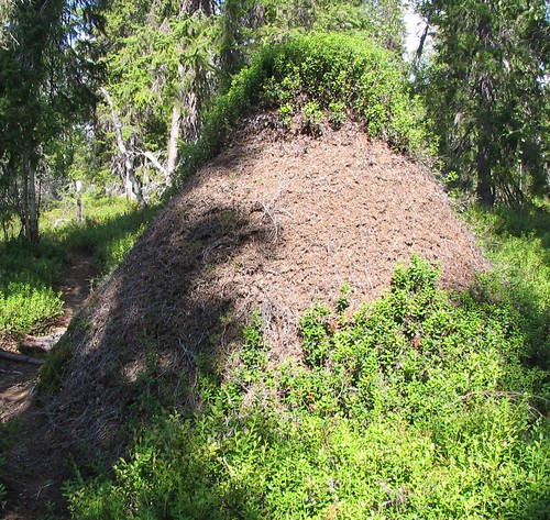 Anthill in Lappland