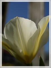 Behind the Fence (Kirsten M Lentoft) Tags: sunlight white flower garden tulip naturesfinest colorphotoaward impressedbeauty momse2600 diamondclassphotographer flickrdiamond kirstenmlentoft