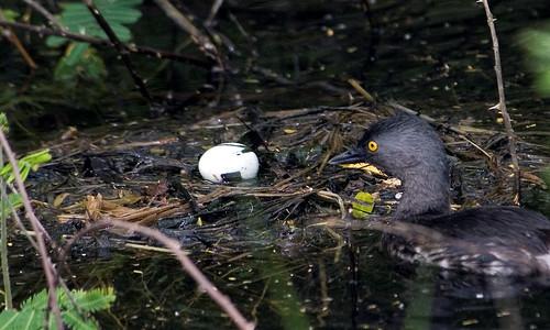 Nesting Least Grebe