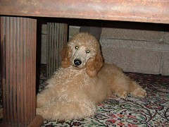 Dog Hidden Under a Table