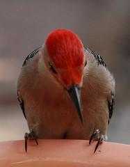 Flicker (dbuk2) Tags: bird woodpecker flicker melanerpescarolinus