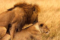 Ensuring Survival: Poetry in Profile (  HD  ) Tags: africa male 20d animal sex female canon season kenya wildlife lion safari mating hd mate predator darwish hamad
