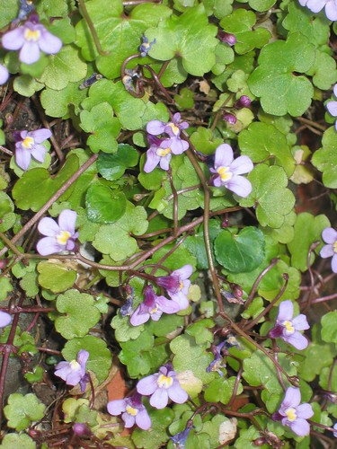 Ivy leaved toadflax closeup