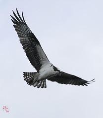 _MG_2006 (iceeyes1983) Tags: osprey comolake