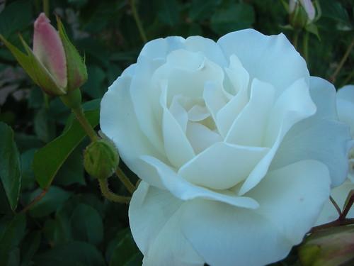 070425 Rose