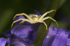 """Flower Spider (Misumena vatia)(3) • <a style=""""font-size:0.8em;"""" href=""""http://www.flickr.com/photos/57024565@N00/479844831/"""" target=""""_blank"""">View on Flickr</a>"""
