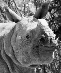 Rhino in B&W! (Connie Lemperle) Tags: eye searchthebest animalplanet noahsark cincinnatizoo blueribbonwinner supershot animaladdiction animalkingdomelite iloveblackandwhite mywinners anawesomeshot impressedbeauty lemperleconnie allrightsreserved