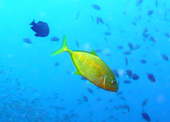 Golden Orangespotted Trevally