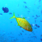 Golden Orangespotted Trevally, Koh Tao Island Thailand