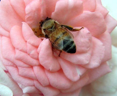 Lunch time honey bee