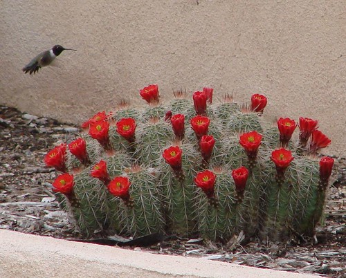hummingbird and claret cup cactus