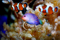 4592aweb (cwaygelbydesign) Tags: tropical blue marine macro reef fish sea dive water coral nature aquarium exotic ocean underwaterphotography wallart animal wildlife clownfish macrophotography