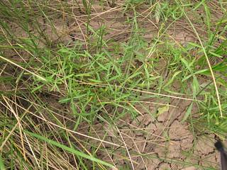 Alternanthera denticulata plant13 CWS