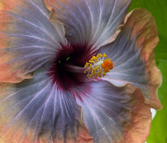 Hibiscus, Pistil & Stamen or Anther? (Ed Siasoco (aka SC Fiasco)) Tags: blue flower green yellow washingtondc pistil hibiscus stamen ornage excellence anther nationalbotanicalgarden d1x scfiasco siasoco edwinsiasoco edsiasoco