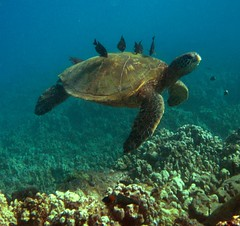 "green sea turtle above a ""cleaning station"" (bluewavechris) Tags: ocean life blue sea brown green water animal hawaii marine underwater head turtle reptile shell diving maui snorkeling creature flipper animalkingdomelite impressedbeauty"