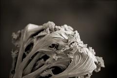 Mmm, Lettuce (T. Scott Carlisle) Tags: macro film nikon close lettuce micro tsc tphotographic tphotographiccom tscarlisle tscottcarlisle