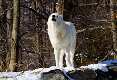 The Howwwl..... (kotobuki711) Tags: trees winter white snow ny newyork male forest mammal apache wolf dof bokeh outdoor conservation canine alpha wolves howl southsalem wolfconservationcenter articwolf britishcolumbianwolf