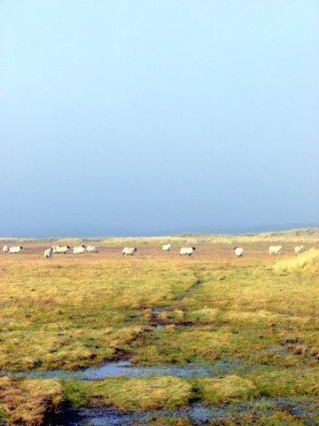 Sheep in Ireland on Island