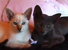 Massimo and Lace (janinetreetops) Tags: cats cute cat feline siamese orientals kissablecat bestofcats impressedbeauty