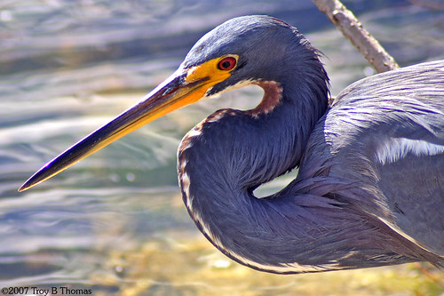 Tricolored Heron; Photography by Troy Thomas