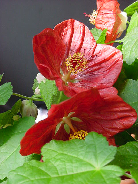 Abutilon, flowering inside