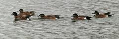 WIGEON2 (k.nanney) Tags: ducks waterfowl americanwigeon wigeon anasamericana baldpate texasbirds olympuse1 nanney