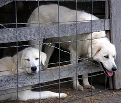 Maremma livestock guardian dogs