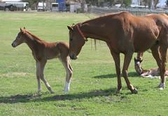 Baby thoroughbred's first steps por kjdrill