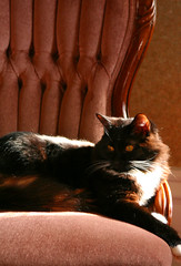 Do I look good or what? (Tabbie-cats) Tags: pink vacation blackandwhite color sexy male beautiful composition cat canon wow interesting chair feline pretty kentucky gorgeous victorian longhair handsome sunny tuxedo gato inside lovely elegant bb bedandbreakfast smithsgrove cc100 bestofcats anawesomeshot impressedbeauty thevictorianhouse
