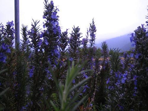彩雲農場~這是迷迭香的花