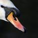 Regent's Swan: February 23rd