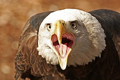 Screaming Eagle.