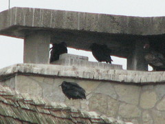 black and turkey vultures OOS