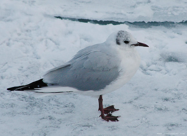 Black-headed Gull at Montrose Harbor