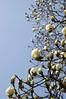 ハクモクレン Magnolia