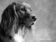 MEL PORTRAIT (mauricio cevallos www.mauriciocevallos.com) Tags: portrait bw dog can mel perro fz30 flickrsbest impressedbeauty