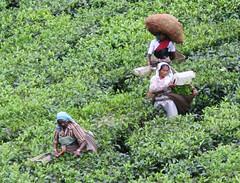 Girls picking tea (Andover Jan) Tags: india tea kerala picking teapicking
