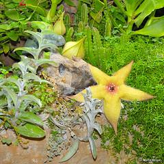 Stapelia gigantea flower & buds (Martin_Heigan) Tags: camera flower macro nature digital southafrica succulent nikon close martin photograph d200 dslr stapelia gigantea asclepiadaceae 60mmf28micro asclepiad stapeliad nikonstunninggallery heigan 9march2007 mhsetstapeliads mhsetflowers
