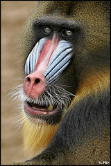 This will be my final warning! (Edgar Thissen) Tags: 20d netherlands canon zoo monkey bravo quality explore ape baboon primate mandrill rhenen ouwehands dierenpark pgphotography magicdonkey edgarthissen 13901 outstandingshots specanimal animalkingdomelite superbmasterpiece