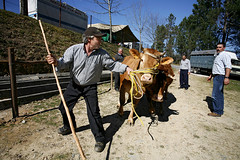 075D19030 (Paulgi) Tags: people portugal book cow europe outtake pilgrims arcos romeiros minho oliveira valdevez paulgi romeirosouttakes