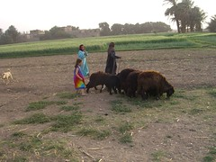 Sheep in Luxor