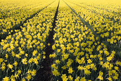 Some Daffodils . . . (siebe ) Tags: holland netherlands dutch nederland explore narcis daffofil superaplus aplusphoto hollandsiebe hollandstock