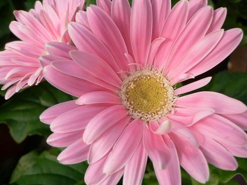 rosa gerbera