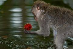 "ö_ö  ""my precioussssss""...♫ wildlife from bali ♫ (bocavermelha-l.b.) Tags: fruit gollum r1 lychee rambutan macaques macacos sacredmonkeyforestsanctuary 猴子 猿 longtailedmacaque macacafascicularis 80200mmf28d outoftheordinary wildlifephotography r1c1 sméagol south–china–sea inindonesia tôôt wildlifesoutheastasia shootingwithd200 nepheliumlappaceum abigfav nikonr1ttlringlightflash firsttheearth mandalawisatawenarawana inubud onbali litchichinensissonn 16186f164my2007 oбезьяна wildlifebali"