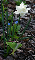 Luna moth on Narcissus 'Ice Wings' (R. & S. Illingworth) Tags: lunamoth narcissus actiasluna
