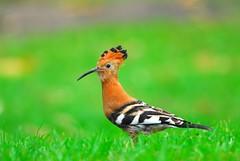 Hoopoe (jeremyhughes) Tags: bird birds southafrica bokeh cape hoopoe knysna tc14eii upupaafricana 300mmf4d